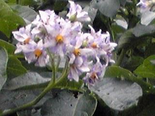 野菜たちの花(ジャガイモ、大根)