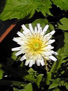 今日は王様のお誕生日☆白いタンポポが咲きました♪そして今日の直さんはホッシーのBirthdayイベントに出演