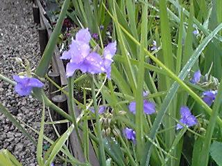 今日はミント姫11歳のお誕生日♪夜も雨の似合う花(ムラサキツユクサ・紫露草)