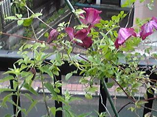 わが家の可愛いクレマチスは今年も元気に咲きました♪