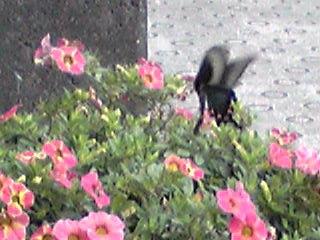 玄関先の花たちに飛んで来ていたアゲハ蝶♪