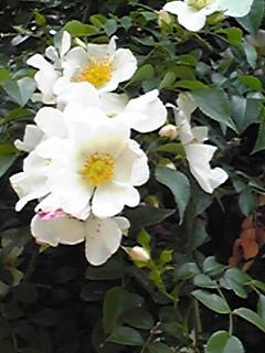 わが家のこのバラ(薔薇)も梅雨時に咲く花