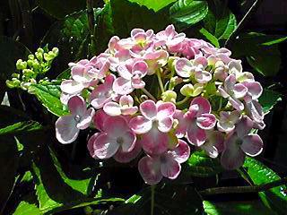 ほぼ満開に成ったわが家のオタフクアジサイ(お多福紫陽花・ウズアジサイ)を見ていたたきましょう!