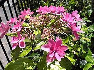 玄関先のアジサイ(紫陽花)も満開に♪そして直さん(高橋直純)のお知らせも!