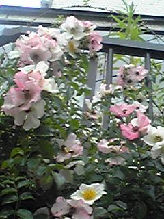 ピンクがかってきたわが家のバラと共に今月発売の直さん(高橋直純)掲載雑誌のお知らせです!