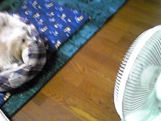 ミント姫は今年も扇風機の前に鎮座(^^)