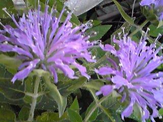 モナルダ(ベルガモット、タイマツバナ、ヤグルマハッカ)の爽やかな薄紫が癒しをくれる庭♪