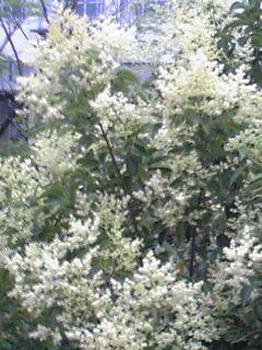 サンゴジュ(珊瑚樹)の花からよい香りがしています!