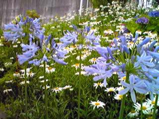 昼のアガパンサス(紫君子欄)は夕方にはまるで紫の花火♪
