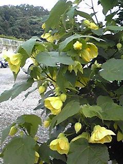 今夜のお花はアプチロン(浮釣木、チロリアンランプ)