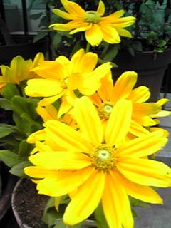 我が家の玄関先に咲く花②(ルドベキア)