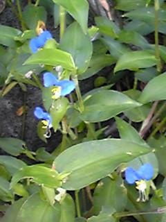 梅雨時のツユクサ(露草、蛍草、月草、藍花、帽子花)