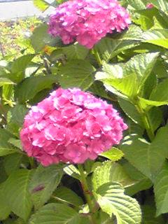 今朝は雨だからアジサイ(紫陽花)を振り返って…
