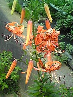 オニユリ(鬼百合、テンガイユリ)が色鮮やかに咲き始めています!