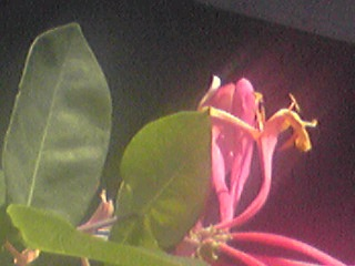 二度咲きのお花が見掛けられます。