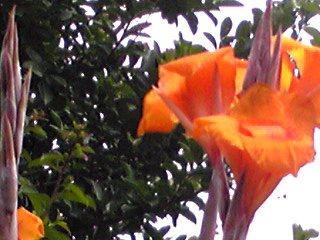 夏の花カンナ