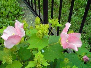 夏の花ムクゲ(木槿)とフヨウ(芙蓉)