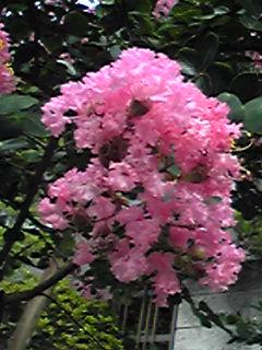 今を盛と咲き誇る百日紅の花たち