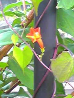 マルバルコウソウ(ツタノハルコウ、ルコウアサガオ)の朱赤が綺麗です!