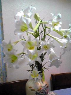 タカサゴユリ(ホソバテッポウユリ、タイワンユリ)が今年も凄い数で増えています。
