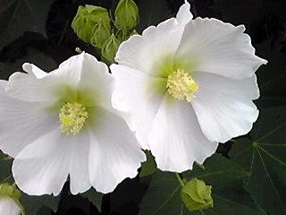曇り空にも輝く真っ白なフヨウ(芙蓉)の花