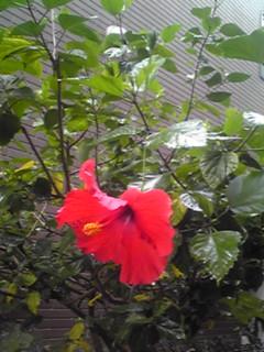 今日も空はどんよりですが一輪咲いた真っ赤なハイビスカスが心晴れやかにしてくれます♪