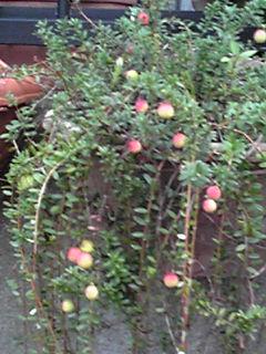 クランベリー(オオミノツルコケモモ・大実蔓苔桃)の実が赤く染まりはじめて来ましたよ!
