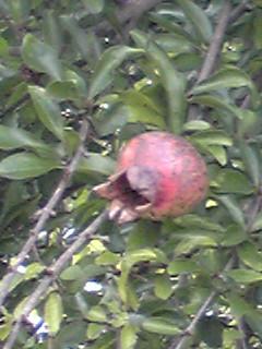 ザクロ(柘榴、石榴)の実が大きくなってきていました!