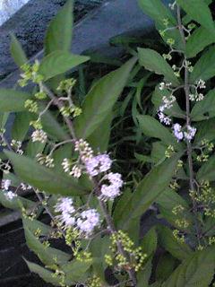 コムラサキシキブ(小紫式部、コムラサキ、コシキブ)の実が色付き始めました!