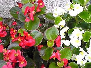 ベゴニアは夏の間も元気に咲いています♪