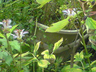 ホトトギス(杜鵑、トードリリー)には10種類程の日本固有種が有るそうです!