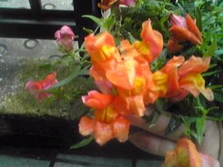 我が家のキンギョソウ(金魚草)がまた咲きはじめています!