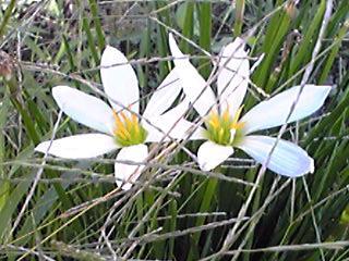 タマスダレ(玉簾、レインリリー)は球根で増えるお花
