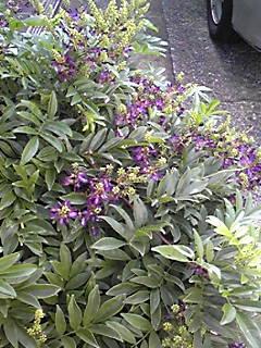 ご近所のサッコウフジ(ムラサキナツフジ、タイワンサッコウフジ)が咲きはじめていました!