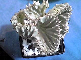 マハラジャ(ユーフォルビア・ラクティア)という奇妙な形の多肉植物を買ってきちゃいました!