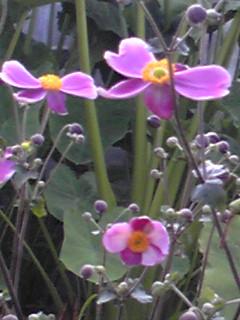 シュウメイギク(秋明菊、貴船菊、秋牡丹)がお花畑のあきを彩ります!