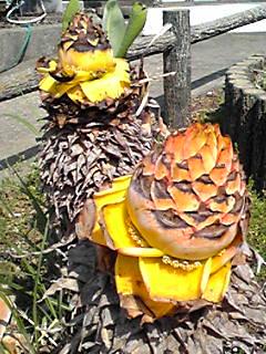 チュウキンレン(地湧金蓮、チャイニーズイエローバナナ)はとても珍しい大きな花が咲きます!