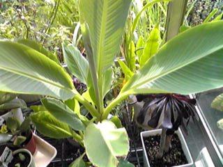 チュウキンレン(地湧金蓮、チャイニーズバナナ)はとても珍しい大きな花が咲きます!
