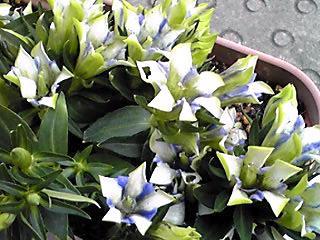 ちょっと変わった色合いのリンドウ(竜胆)の花