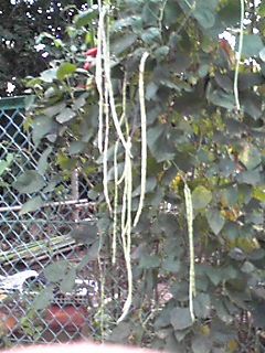 道路沿の歩道と畑の境のフェンスから出ていたちょっと変わった野菜たち!
