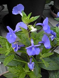 こんなお花も玄関先用に購入!でも名前は解りません。