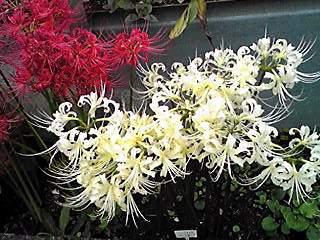 ヒガンバナ(彼岸花、曼珠沙華、リコリス)も今では庭先でみられ、お部屋に飾る人も!