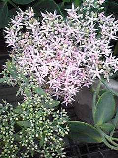 淡いピンク色のベンケイソウ(弁慶草)の仲間が咲き始めました!