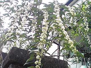 シロミノコムラサキ(コシロシキブ、シロシキブ、シラタマコシキブ)の白い実が目立ち始めています!
