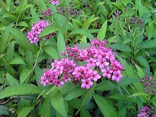 此処に咲くシモツケ(下野)は五月頃からずっと咲き続けています。