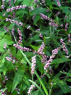 犬蓼(いぬたで、赤まんま)の小さな花