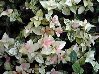 初雪葛(ハツユキカズラ、フイリテイカカズラ、班入り定家葛)は美しい葉が主役!