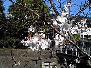 今日の青空と更に咲きはじめた「十月桜」を!!