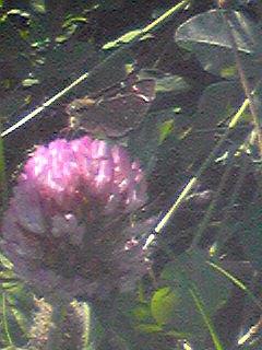 カボチャ畑と赤詰草と蝶