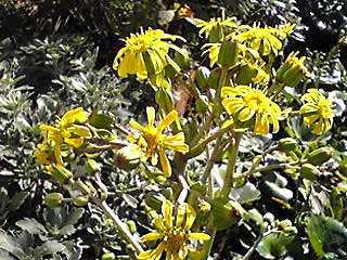 ツワブキ(ツヤブキ、ツワ、イシブキなど)の花がやって咲きはじめてきました!